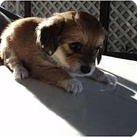 Adopt A Pet :: Male brown/white - Morgan Hill, CA