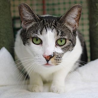 Domestic Shorthair Cat for adoption in Los Angeles, California - Chrissy