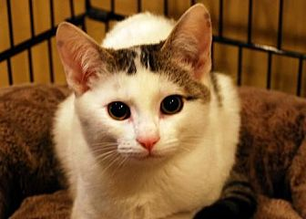 Domestic Shorthair Cat for adoption in Auburn, California - Cracker Jack