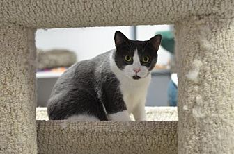 Domestic Shorthair Cat for adoption in Atlanta, Georgia - Louise 150506