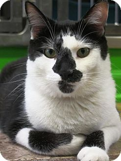 Domestic Shorthair Cat for adoption in Northbrook, Illinois - Spade