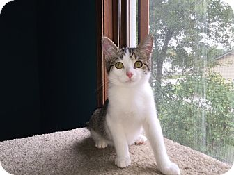 Domestic Shorthair Cat for adoption in Highland, Indiana - STIMEY