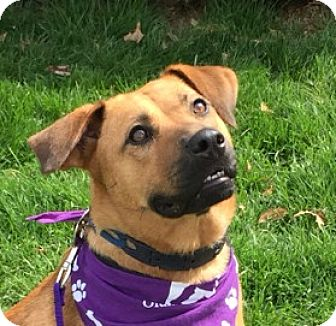Rhodesian Ridgeback/Shepherd (Unknown Type) Mix Dog for adoption in LaGrange, Kentucky - A- Zoey