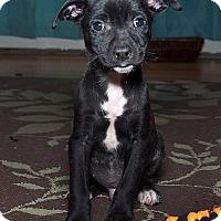 Adopt A Pet :: Arrow - Millersville, MD