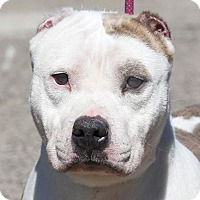 Adopt A Pet :: MIDGE - New Haven, CT