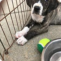 Adopt A Pet :: Gamma - Hohenwald, TN
