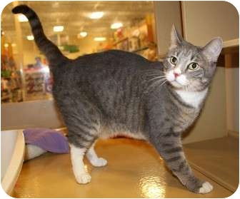 Domestic Shorthair Cat for adoption in Nolensville, Tennessee - Jill
