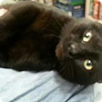 Adopt A Pet :: Duke the Pole Cat - Harrisburg, NC
