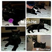 Adopt A Pet :: Midnite - Arlington/Ft Worth, TX