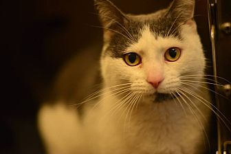 Domestic Shorthair Cat for adoption in Beacon, New York - Ronnie