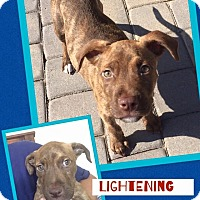 Adopt A Pet :: Lightning - Scottsdale, AZ