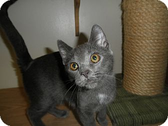 Domestic Shorthair Kitten for adoption in Milwaukee, Wisconsin - Marina