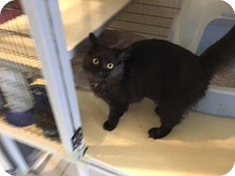 Domestic Longhair Kitten for adoption in Elk Grove, California - ZEPHA