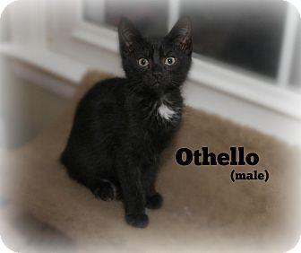 Domestic Shorthair Kitten for adoption in Glen Mills, Pennsylvania - Othello