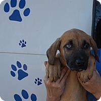 Adopt A Pet :: Duke - Oviedo, FL