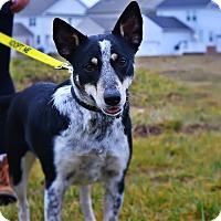 Adopt A Pet :: Stella - Manassas, VA