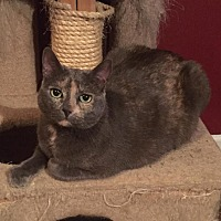 Calico Cat for adoption in Buford, Georgia - Louise
