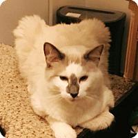 Adopt A Pet :: Bloo - Glendale, AZ