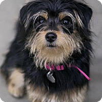 Adopt A Pet :: Tink - Denver, CO