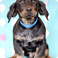 Adopt A Pet :: Carson ADOPTION PENDING - Waldorf, MD
