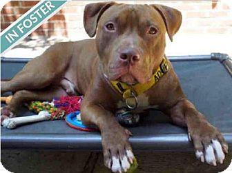 American Pit Bull Terrier Mix Dog for adoption in Brooklyn, New York - BEAKER