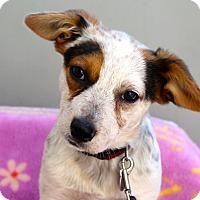Adopt A Pet :: Zena - Los Angeles, CA