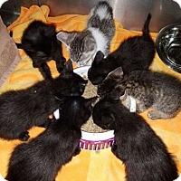 Adopt A Pet :: KITTENS - Los Angeles, CA
