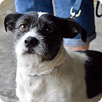 Dachshund/Basset Hound Mix Dog for adoption in CRANSTON, Rhode Island - Piper