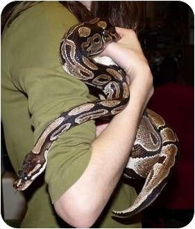 Snake for adoption in Richmond, British Columbia - Wilma