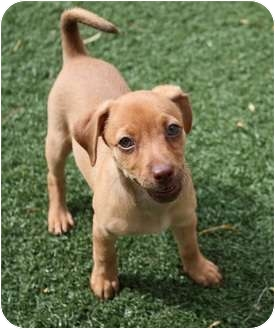 Dachshund mix with beagle