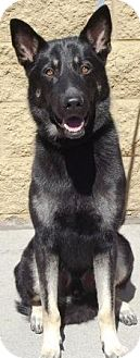 German Shepherd Dog Dog for adoption in Gilbert, Arizona - Loki