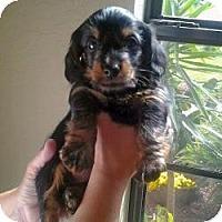 Adopt A Pet :: Midnight - Riverview, FL