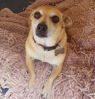 Chihuahua Mix Dog for adoption in Encino, California - BooBoo
