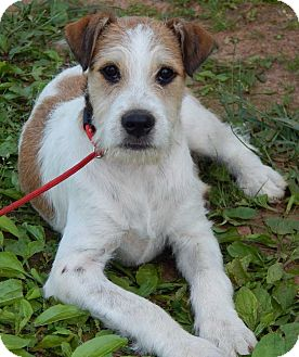 Fox terrier lab mix