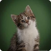 Adopt A Pet :: Groot - St. Louis, MO