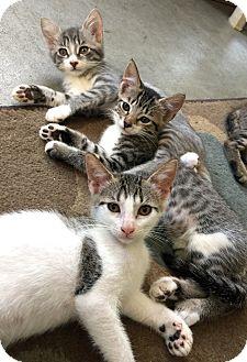 Domestic Mediumhair Kitten for adoption in Jacksonville, Florida - Twix