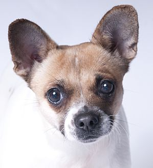 French Bulldog/Chihuahua Mix Dog for adoption in Chicago, Illinois - Pumpkin