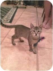 Bengal Cat for adoption in Medford, New Jersey - Alania