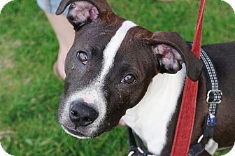 American Pit Bull Terrier Mix Puppy for adoption in Reisterstown, Maryland - Tommy