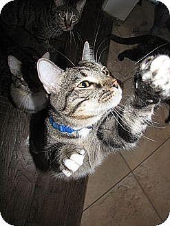 Domestic Shorthair Cat for adoption in Edmond, Oklahoma - Pop Tart
