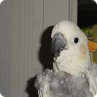 Adopt A Pet :: Special Needs Citron Cockatoo - Vancouver, WA