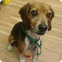 Adopt A Pet :: Scout (formerly Thelan) - Phoenix, AZ