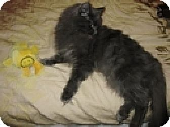 Domestic Mediumhair Cat for adoption in Vancouver, British Columbia - Whimsey
