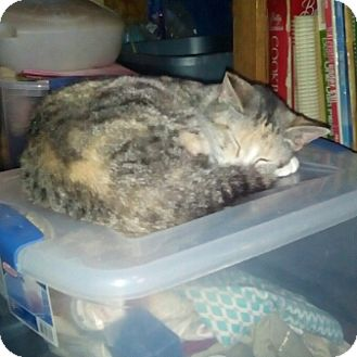 Domestic Shorthair Cat for adoption in Mount Perry, Ohio - Luna