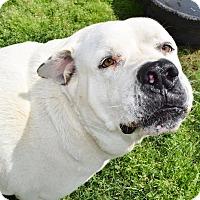 Great Pyrenees/Bullmastiff Mix Dog for adoption in Iola, Texas - Spot