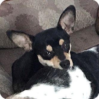 Rat Terrier/Corgi Mix Dog for adoption in Tijeras, New Mexico - Porter