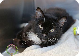 Domestic Longhair Cat for adoption in Sierra Vista, Arizona - Jessie