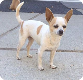 Chihuahua Dog for adoption in Fullerton, California - kaylee