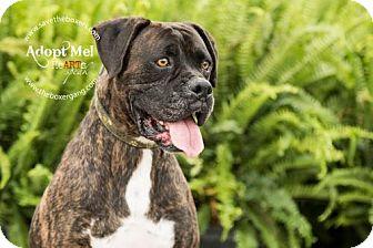 Boxer Dog for adoption in Hurst, Texas - Kryten