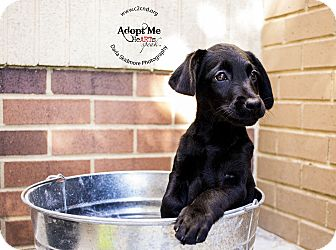 Labrador Retriever/Terrier (Unknown Type, Medium) Mix Puppy for adoption in Charlotte, North Carolina - Creepy (Addams Family Litter)
